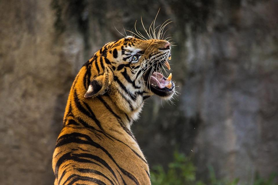 Tiger, Cat, Animal, Predator, Roar, Wild Animal, Zoo