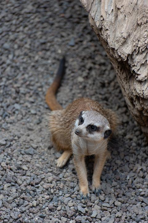 Meerkat, Zoo, Luxembourg, Animal, Prairie Dog