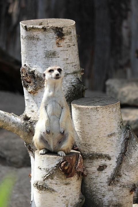 Meerkat, Zoo, Nature, Cute, Animal, Mammal