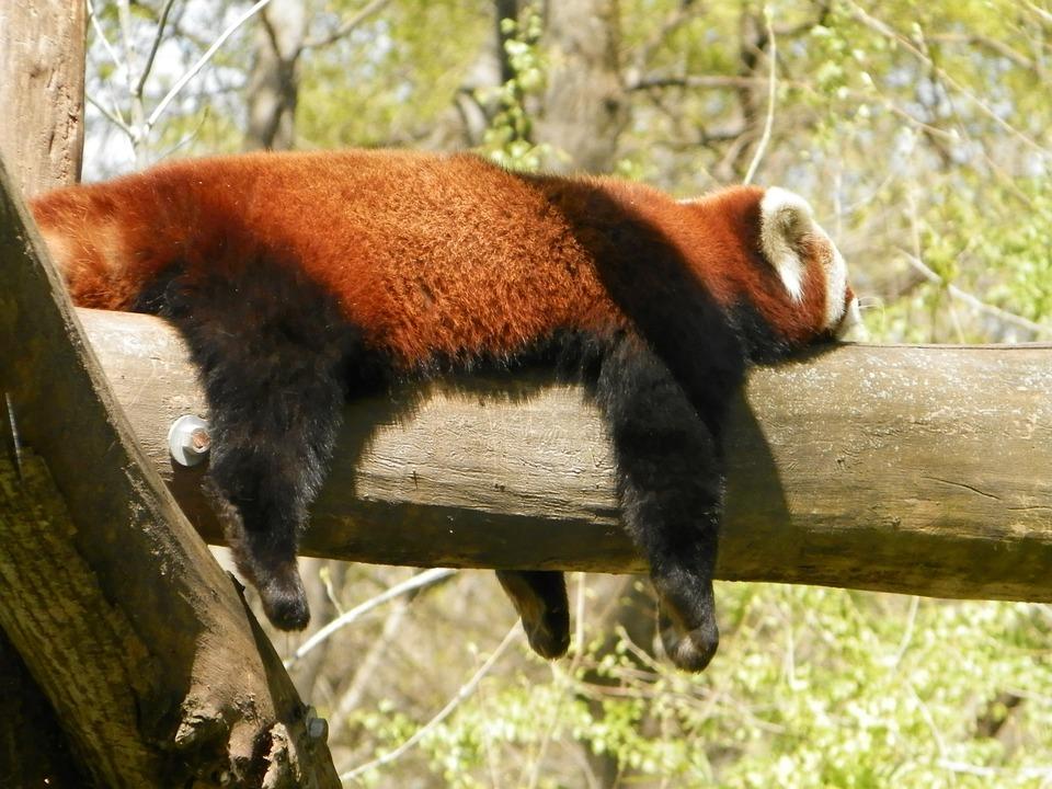 Red Panda, Panda, Animal, Zoo