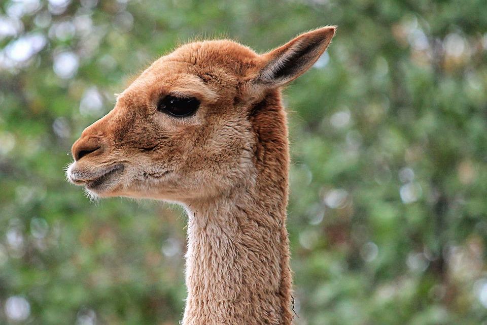 Lama, Animal, Mammal, South America, Zoo, Paarhufer