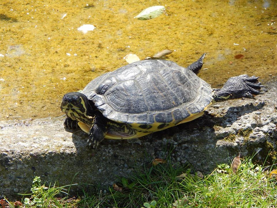 Turtle, Zoo, Water, Animal