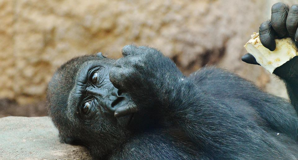 Monkey, Gorilla, Eat, Zoo, Animal, Wild Animal