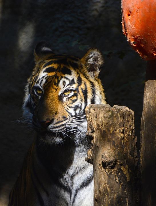 Wildlife, Mammal, Cat, Animal, Predator, Zoo, Tiger