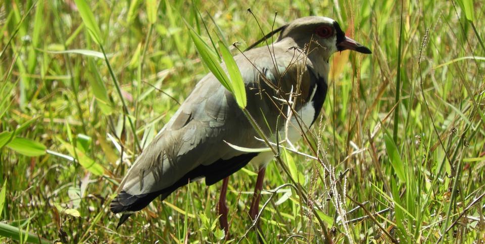 Wild Life, Birds, Nature, Animalia, Lawn