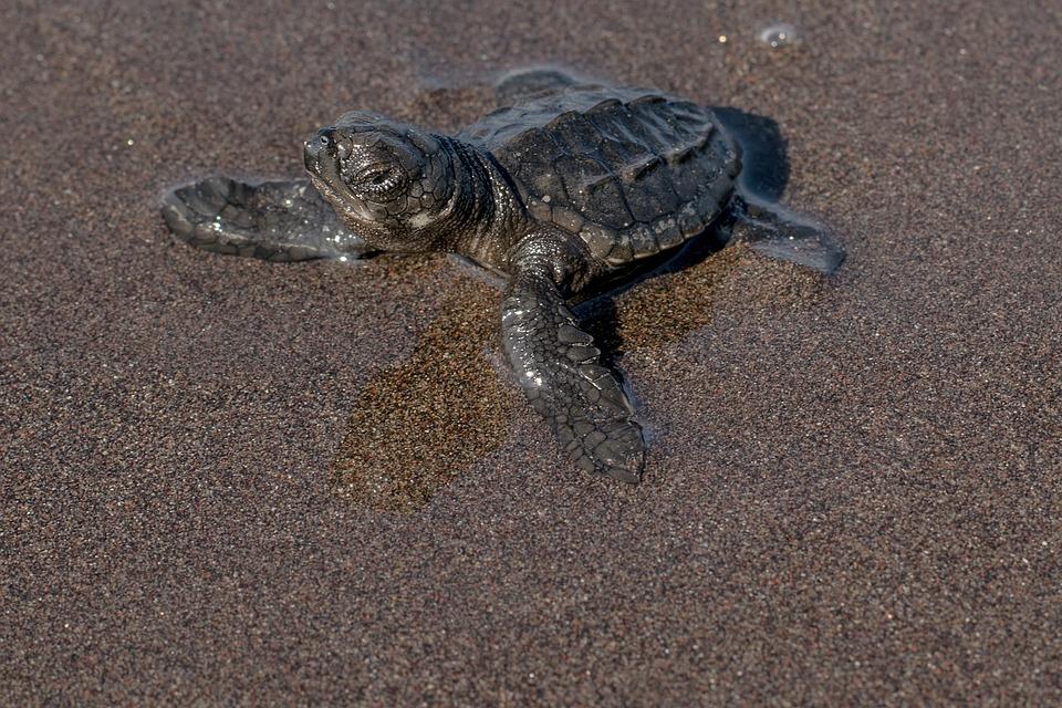 Sand, Reptilia, Beach, Nature, Animalia, Testudines
