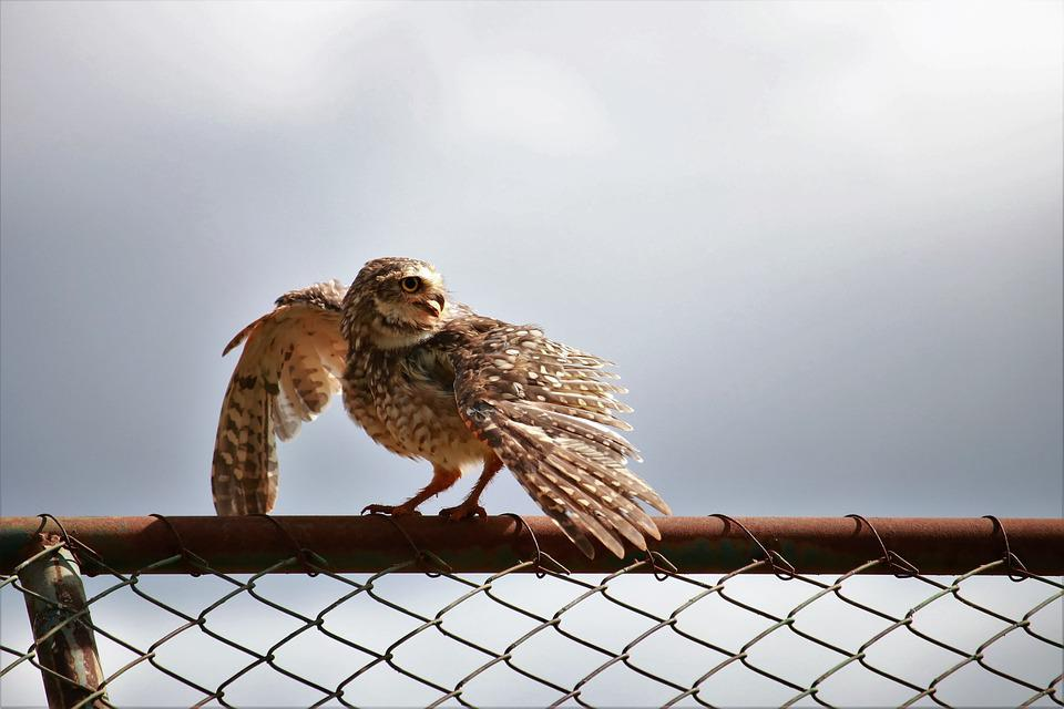 Nature, Outdoors, Animalia, About, Owl, Wings, Birds