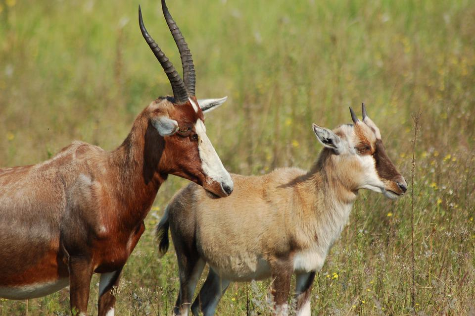Africa, Animals, Blesbok, Herd, Wildlife, Savannah