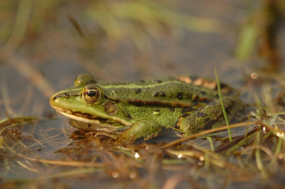 Animals, Amphibians, The Frog, Green, Pond, Water