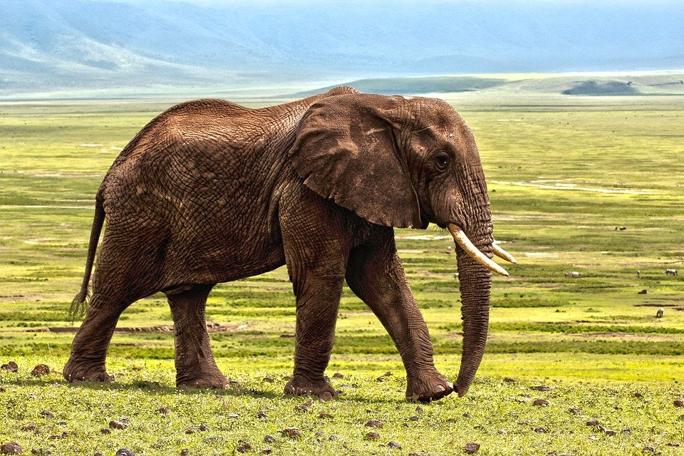 Elephant, Safari, Animal, Defence, Color, Animals
