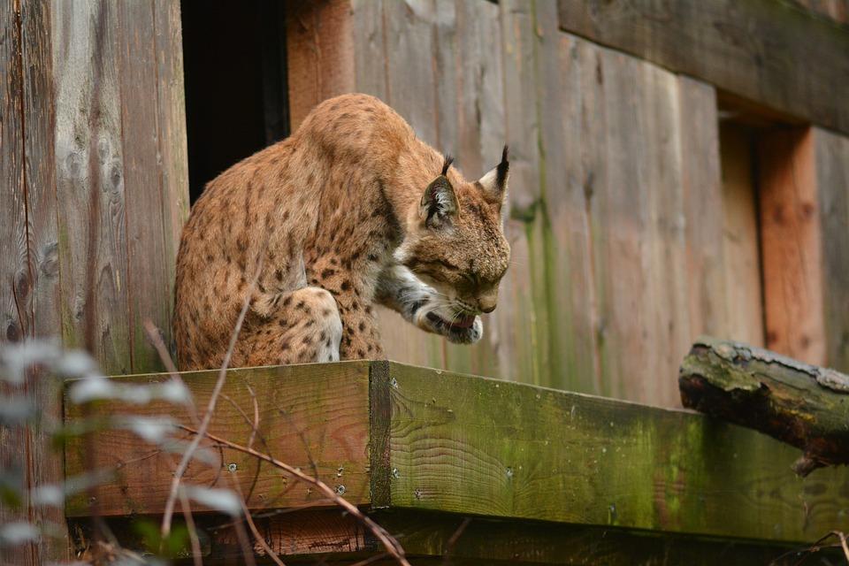 Lynx, Cat, Animal, Poland, Animals, Feral Cat