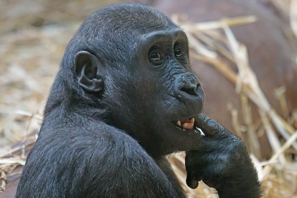 Animals, Primate, Ape, Lowland Gorilla, Mammal