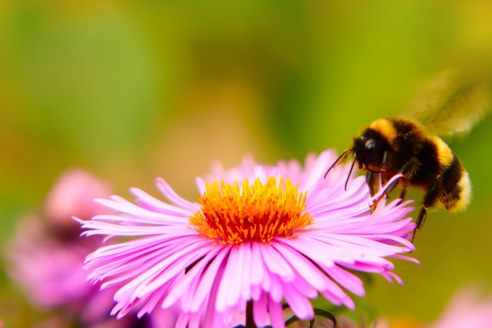 Bumblebee Gas, Insect, Fly, Flower, Apiformes, Animals