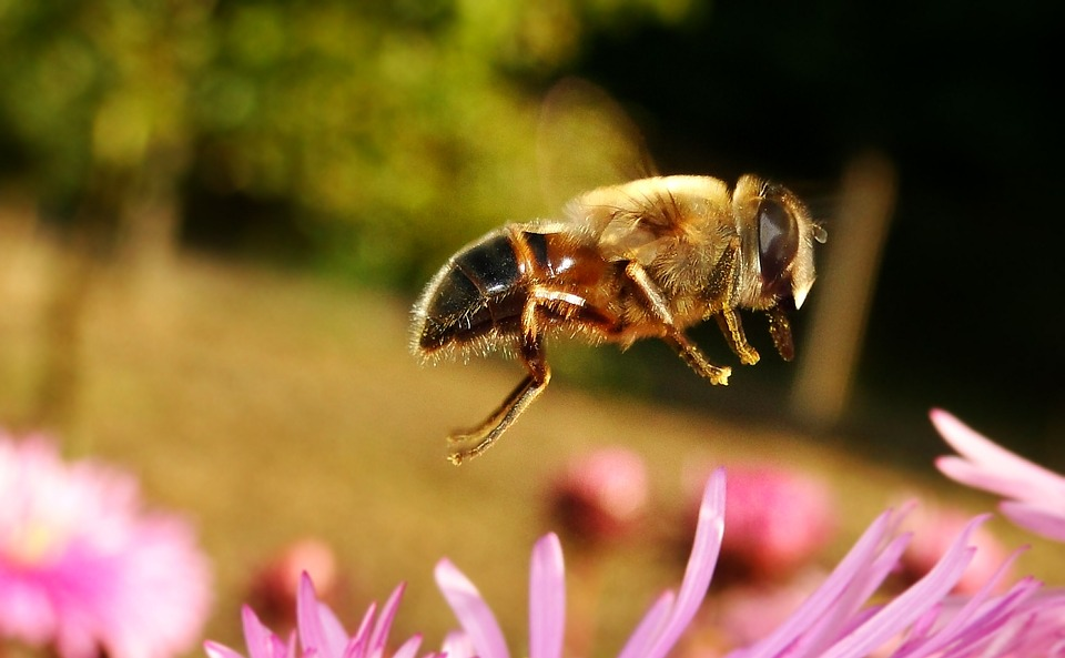 Insect, Nature, Apiformes, Pollination, Flower, Animals