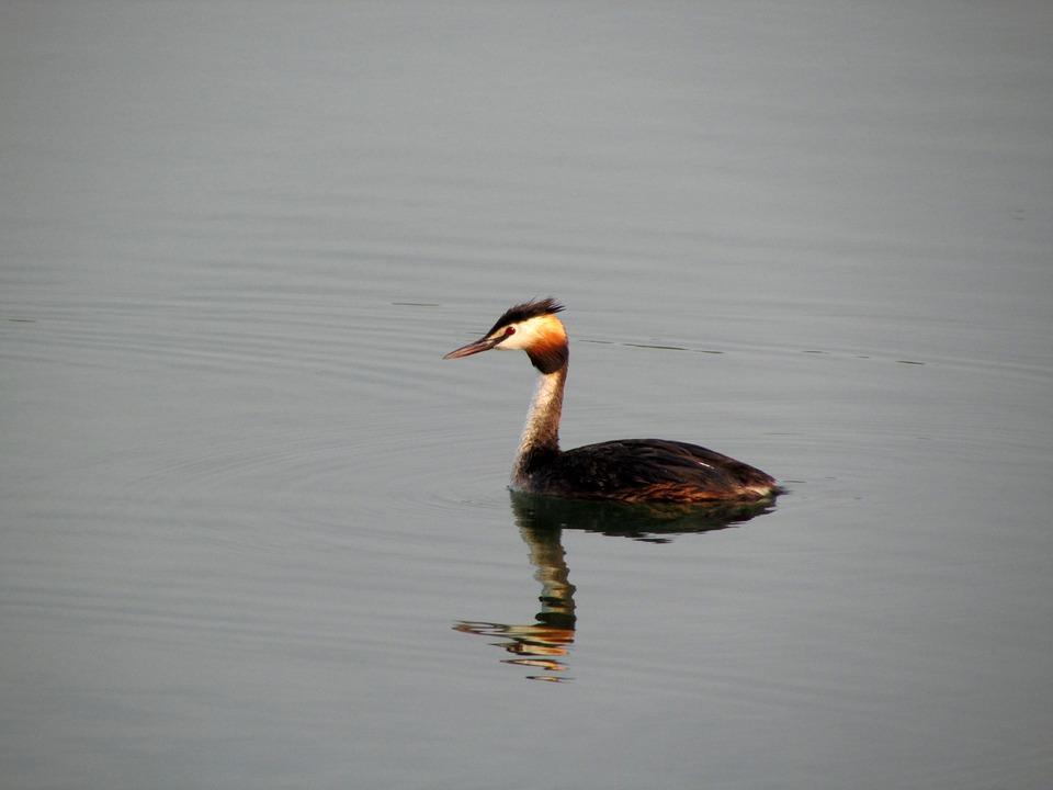 Great Crested Grebe, Water Bird, Animals, Bird