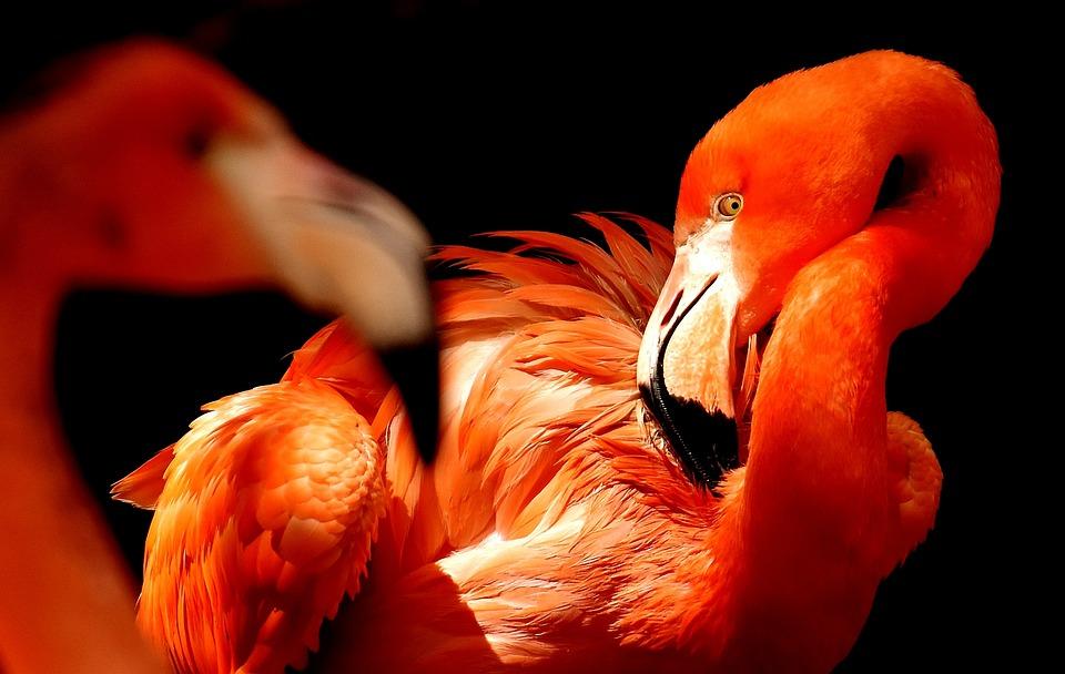 Flamingos, Birds, Water Bird, Colorful, Animals