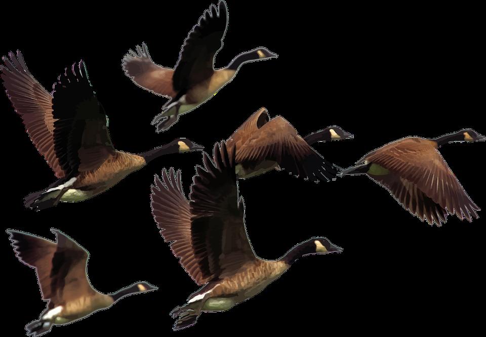 Animals, Birds, Flying, Geese, Goose