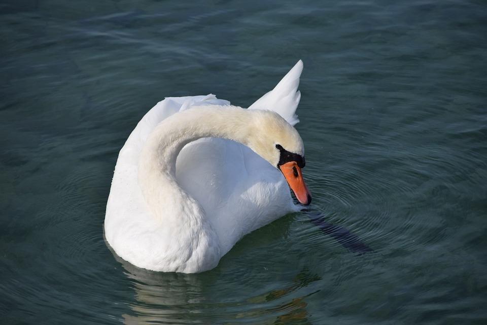 Animals, Birds, Swans, Lake, Haute Savoie, Nature