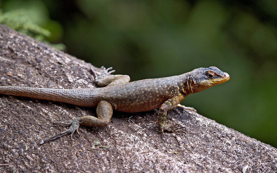 Lizard, Reptile, Wildlife, Animals, Nature, Brazil