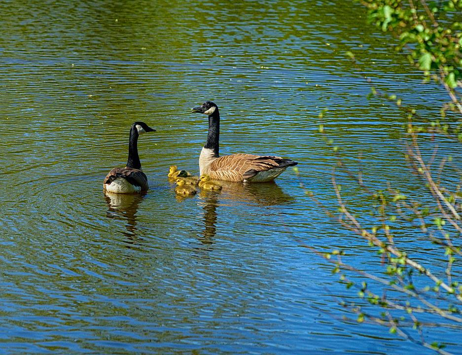 Canada Geese, Parents, Young Animals, Lake, Animals