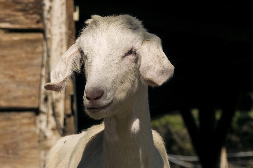 Capra, Sheep, Farm, Pasture, Animals, Stable, Fold