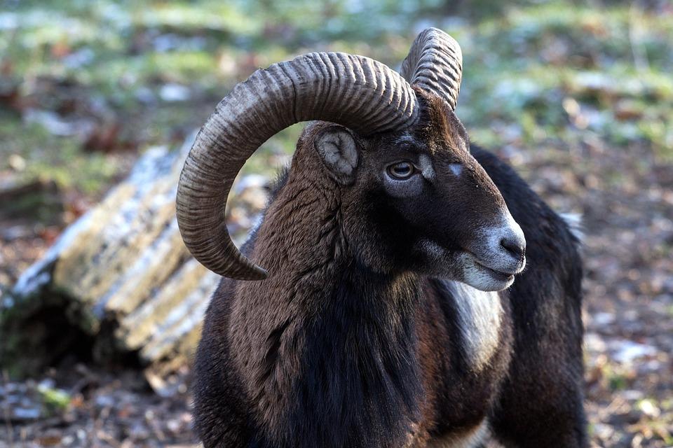 Capricorn, Wild, Animals