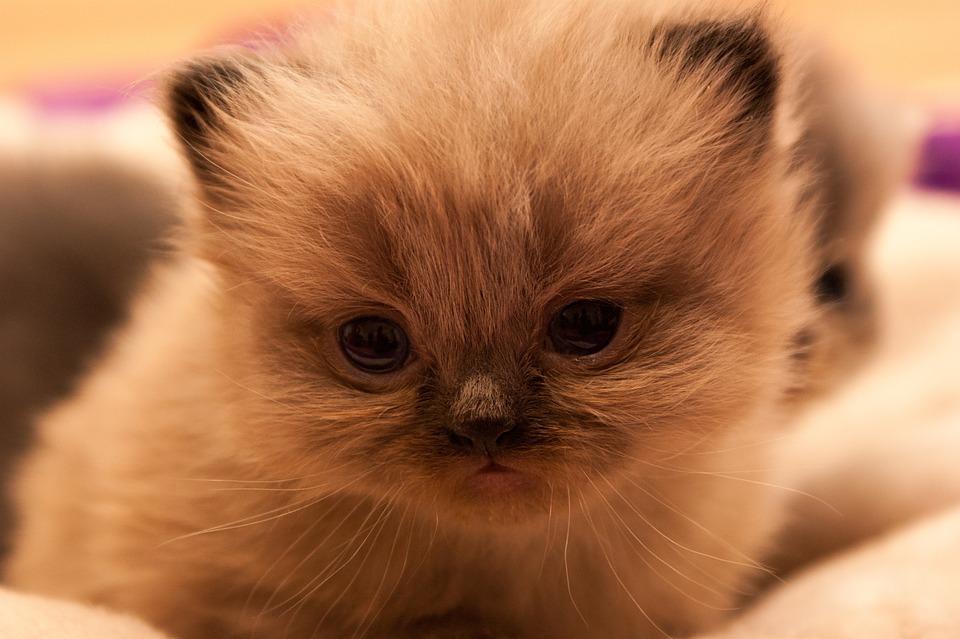 Persians, Cat, Cat Baby, Kittens, Animals
