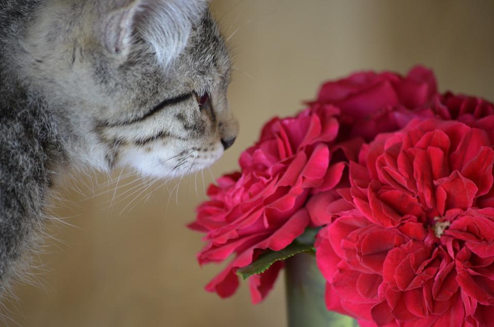 Dear, Sweet, Kitten, Rose, Cat, Animals, Nature