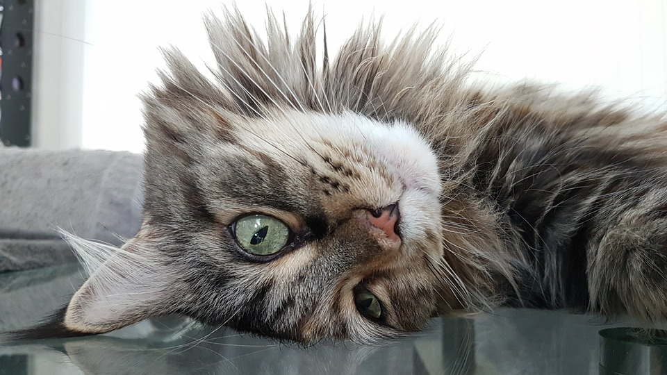 Cat, Maine Coon, Pet, Cat Face, Animals, Mainecoon