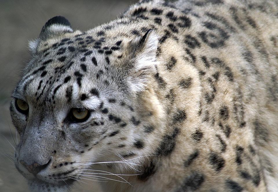 Snow Leopard, Close, Profile, Cat, Threatened, Animals