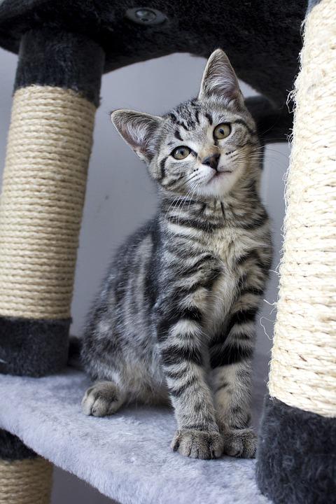 Cat, Kitten, Animals, Cats, Pets, Striped Cat