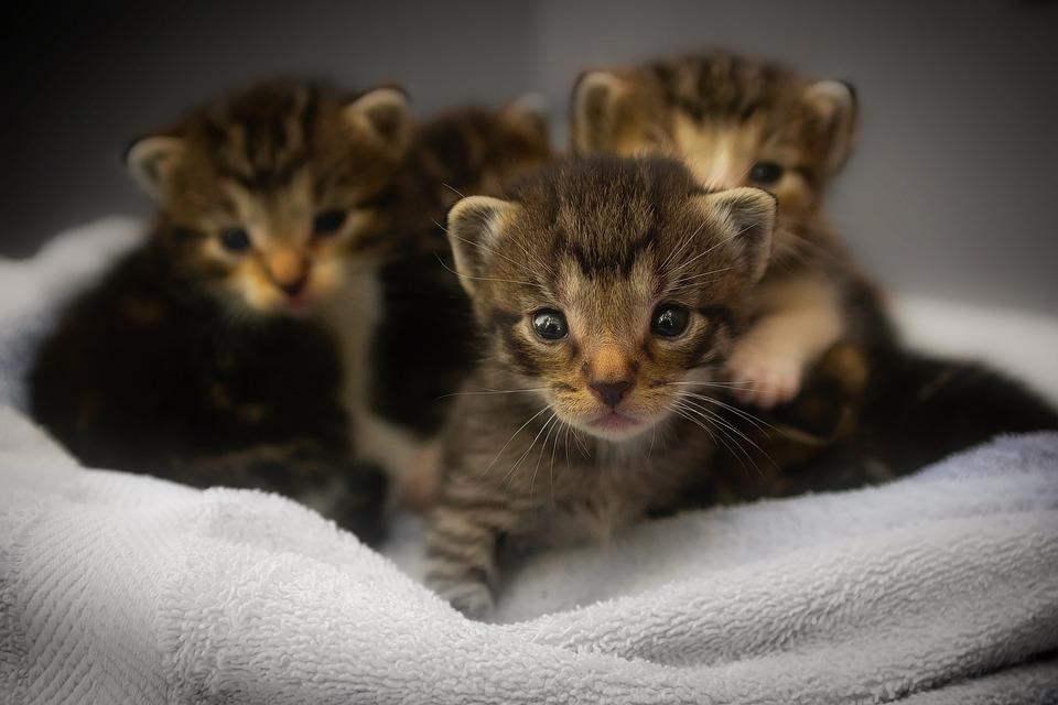 Kittens, Cats, Feline, Animals, Macro, Closeup, Cute