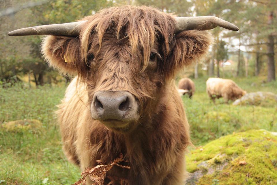 Cow, Ko, Animals, Bovine, Highlandcattle, Cattle