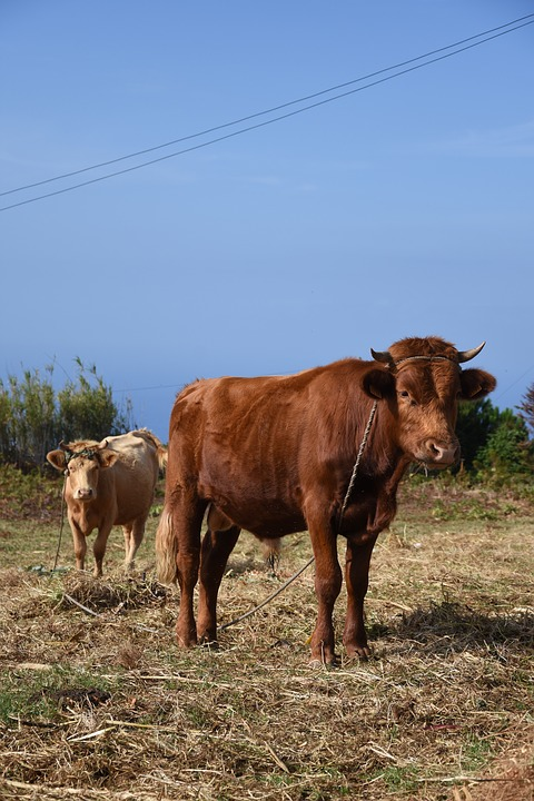 Cows, Animals, Landscape, Nature, Madeira