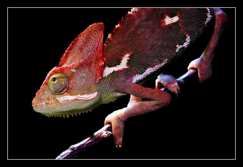 Animal, Animals, Animal World, Chameleon, Creature