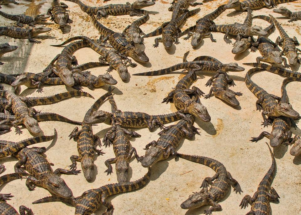 Gators, Reptile, Dangerous, Creature, Animals