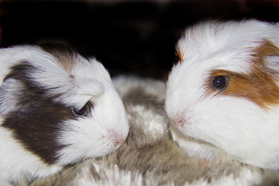 Guinea Pigs, Pets, Animals, Furry, Cute, Guinea, Pig