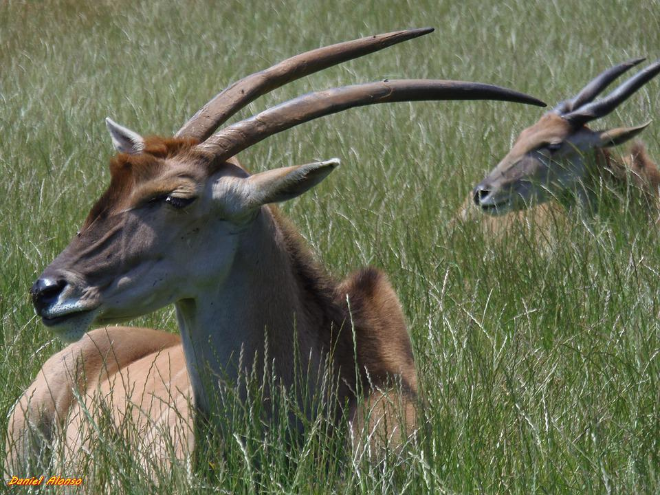 Eland, Antelope, Deer, Animals, Mammals