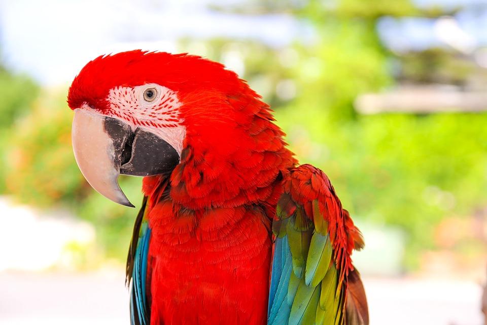 Parrot, Ara, Bird, Exotic, Animals, Nature