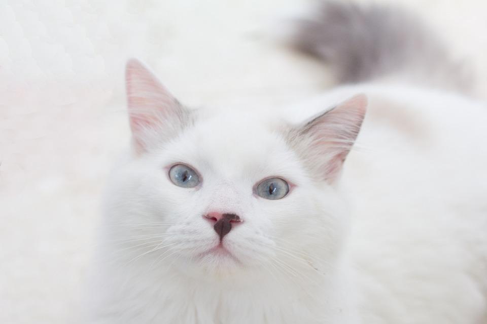 Cat, Pet, Animals, Portrait, Feline, Eyes, Mackerel