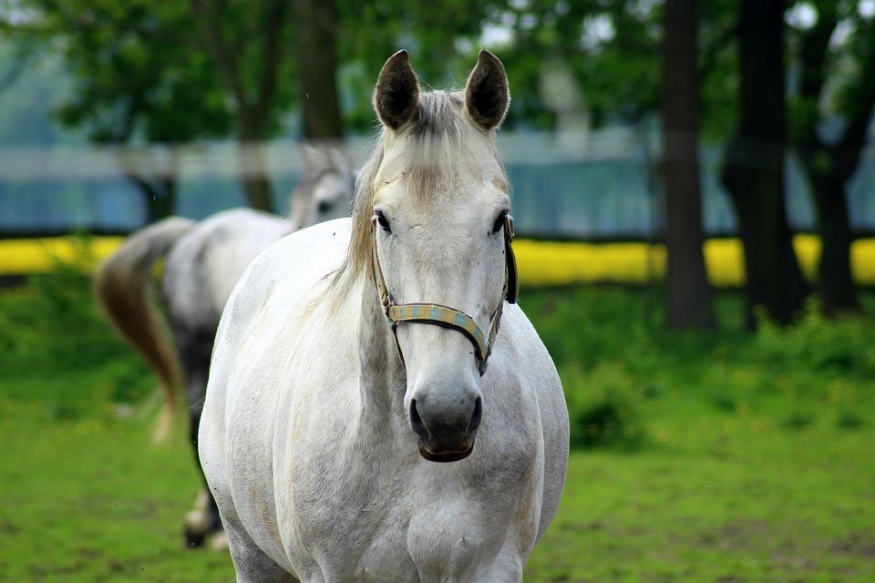 The Horse, Gray, Stud, Lawn, Animals, Mammals, Farm