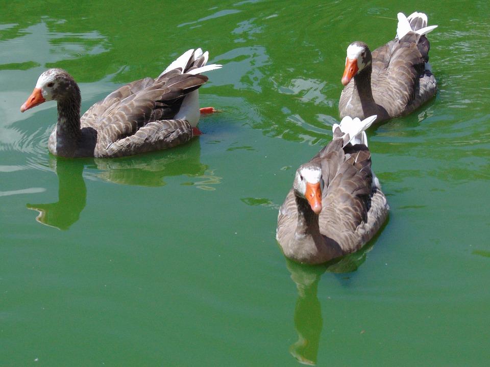 Goose, Ave, Pond, Animal, Swim, Water, Animals, Fauna