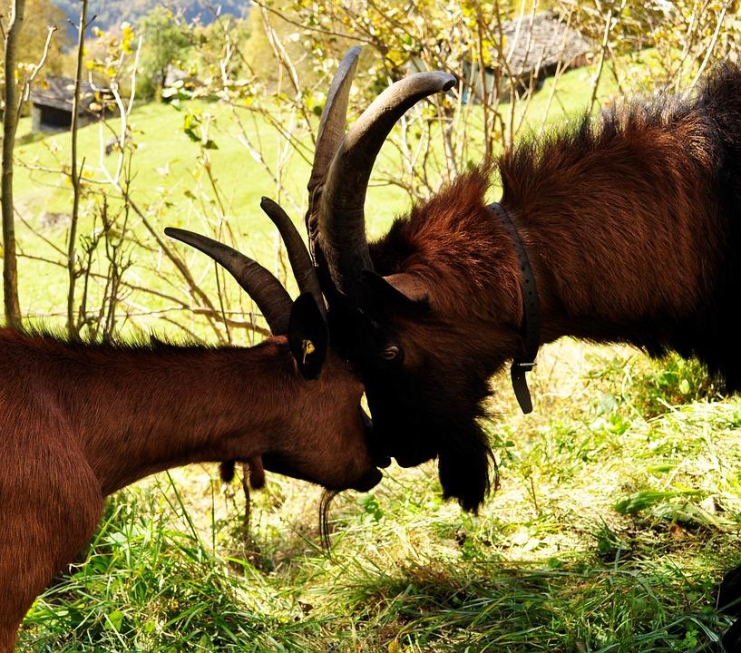 Goats, Horns, Butt, Animals, Fauna