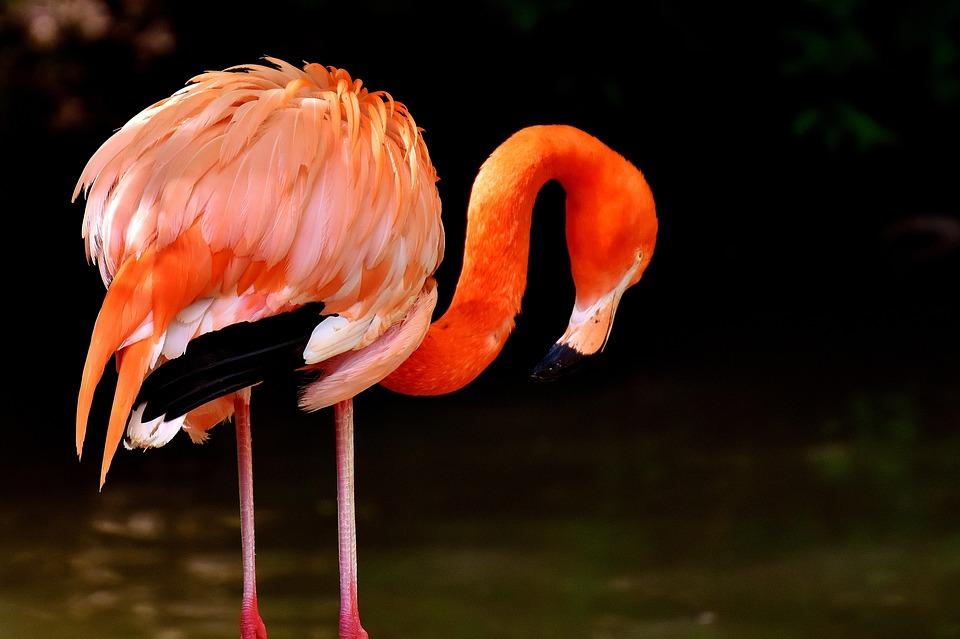 Flamingo, Birds, Water Bird, Colorful, Animals, Plumage