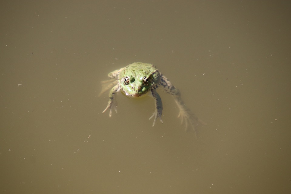 Frogs, Amphibians, Pond, Water, Float, Mare, Animals