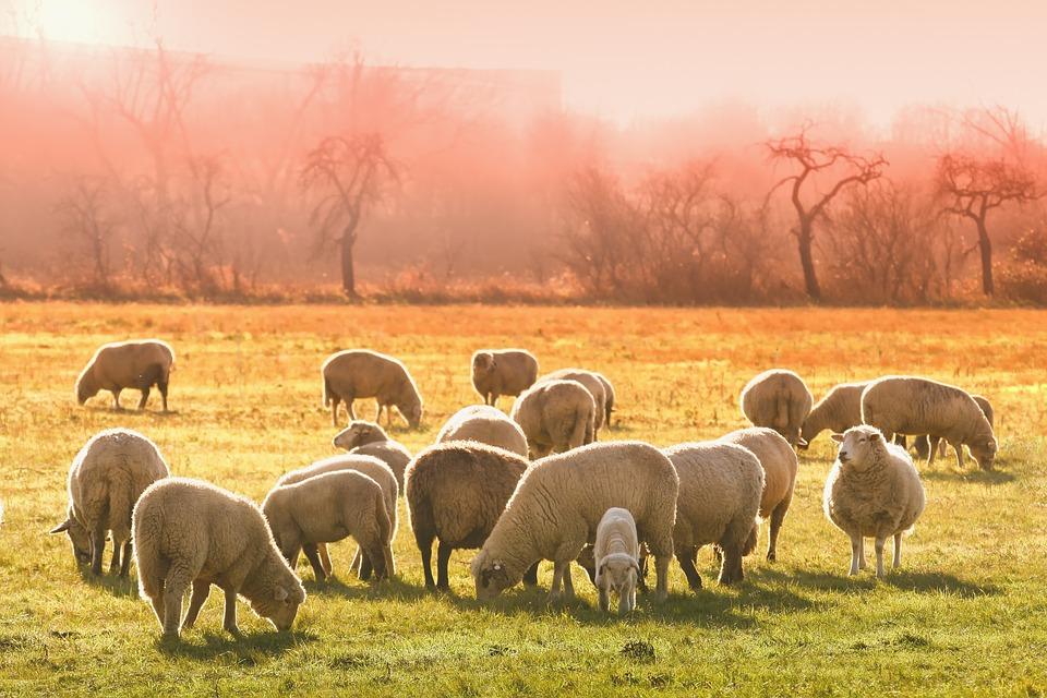 Sheeps, Lambs, Flock, Animals, Graze, Farm Animals