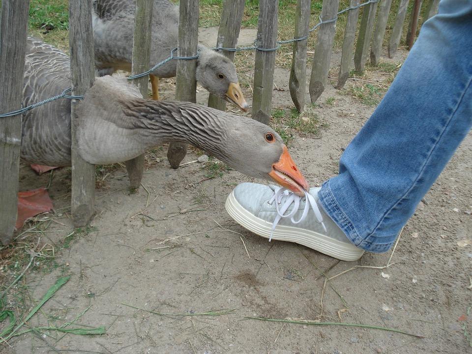 Goose, Gander, Foot, Animals