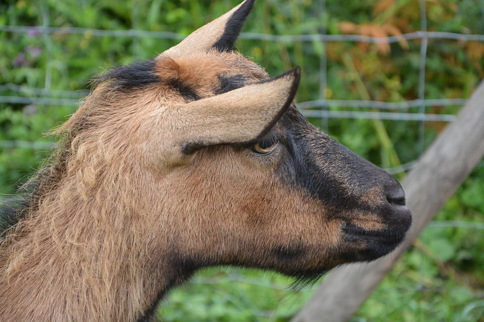 Goat Alpine, Profile, Head, Nature, Animals, Animal