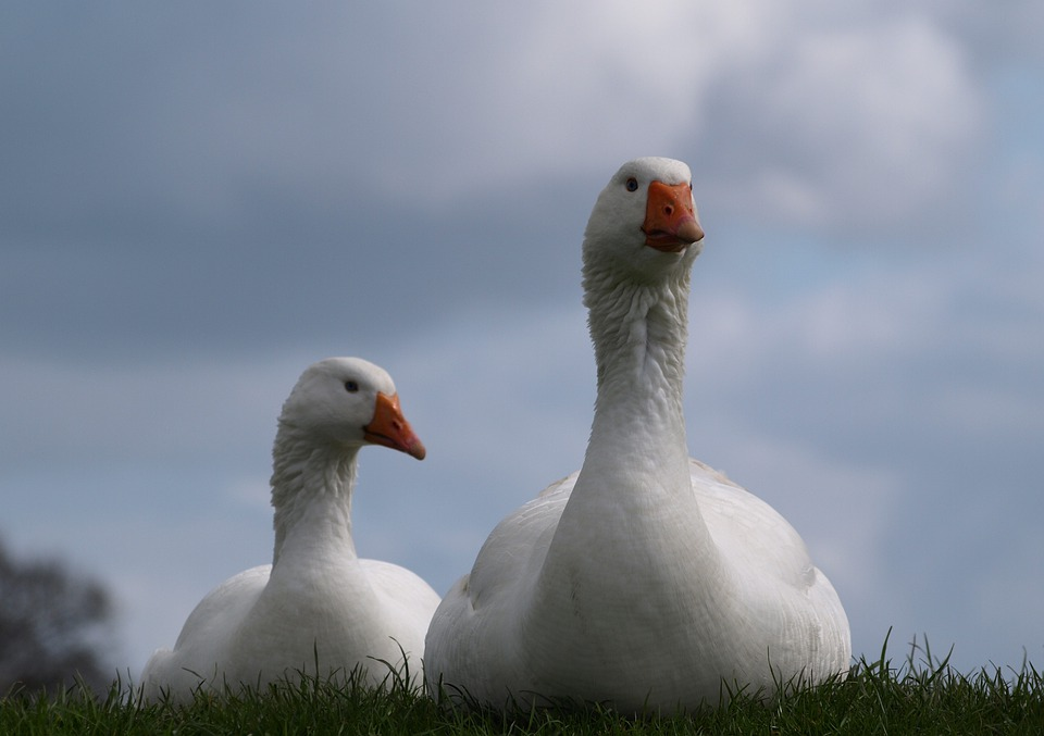Geese, Goose, Poultry, Animals, Couple, White