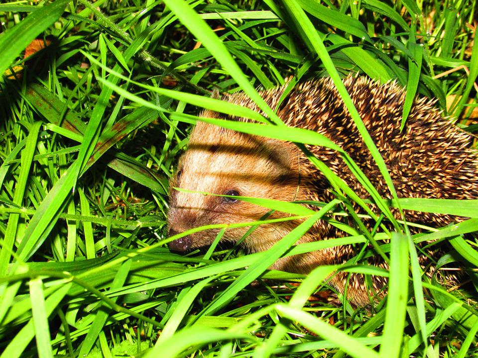 Hedgehog, Grass, Nature, Animals